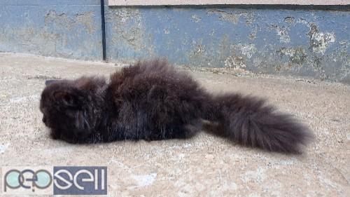 Persian male cat 3