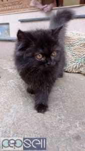 Persian male cat
