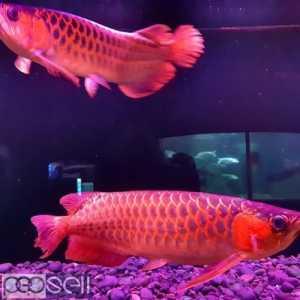 Super Red Arowana,Albino Stingray fish for sale