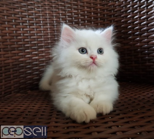 PERSIAN CAT KITTENS FOR SALE 0