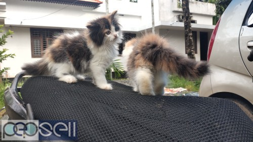 PERSIAN CAT KITTENS FOR SALE 2