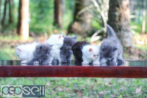 PERSIAN CAT KITTENS FOR SALE 4