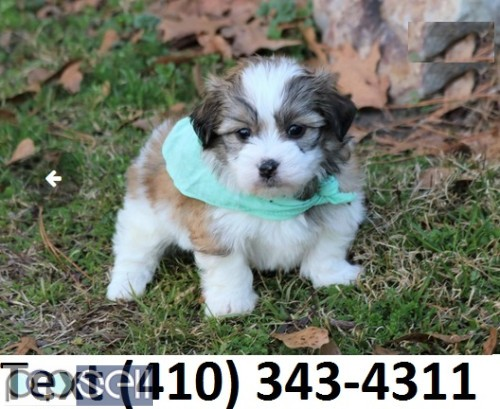 Havanese puppies for sale! 0
