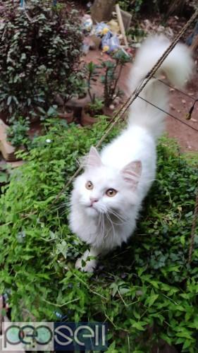 Persian cat available at Kozhikode 0