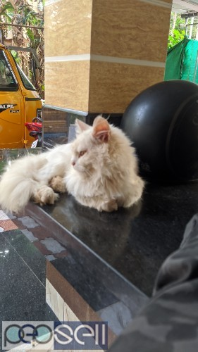 Persian cat available at Kozhikode 1