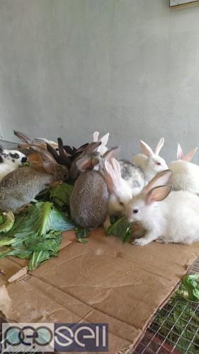 DNBF rabbits farm 0