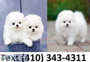 Beautiful mini t-cup pomeranian puppies for sale.