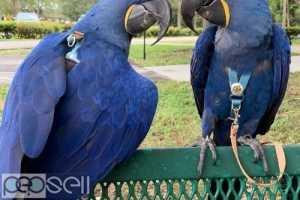 Male and Female hyacinth macaws