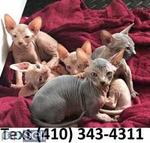 Affectionate sphynx kittens for sale.
