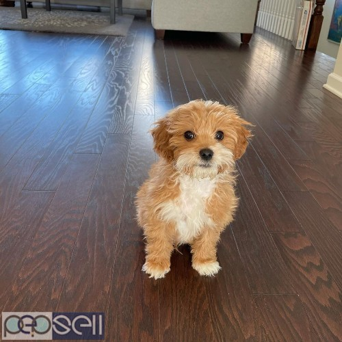 beautiful cavapoo puppies male only for sale  0