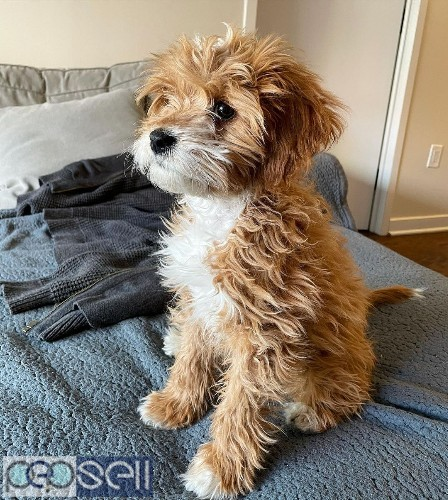 beautiful cavapoo puppies male only for sale  1
