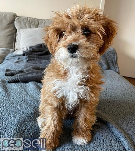 beautiful cavapoo puppies male only for sale  2