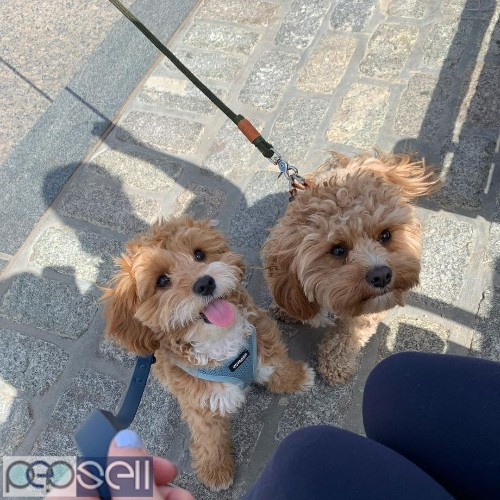 beautiful cavapoo puppies male only for sale  3