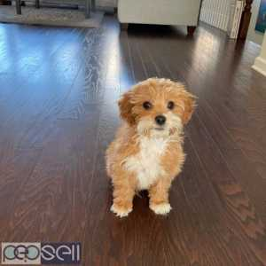 beautiful cavapoo puppies male only for sale